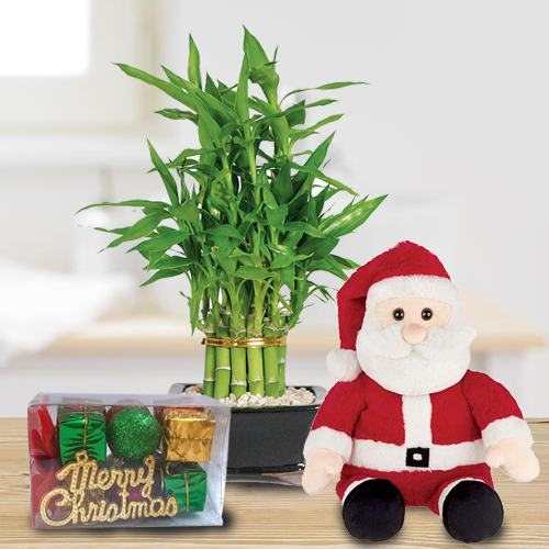 Captivating Lucky Bamboo Plant with Santa Teddy