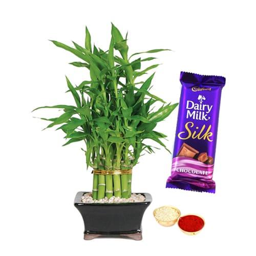 Exclusive Bamboo Plant N Cadbury Silk