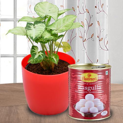 Splendid Combo Gift of Syngonium Plant N Haldiram Rasgulla