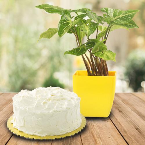 Blossom-Filled Syngonium Plant N Vanilla Cake Combo