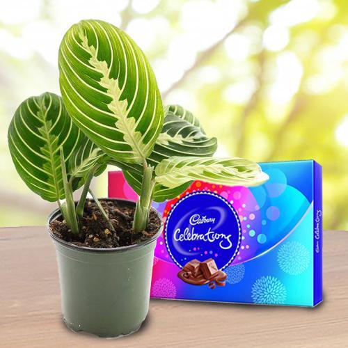 Eye-Catching Gift of Maranta Prayer Plant with Chocolates