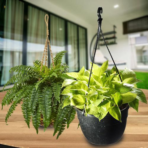 Refreshing Green Combo of Hanging Indoor Plants