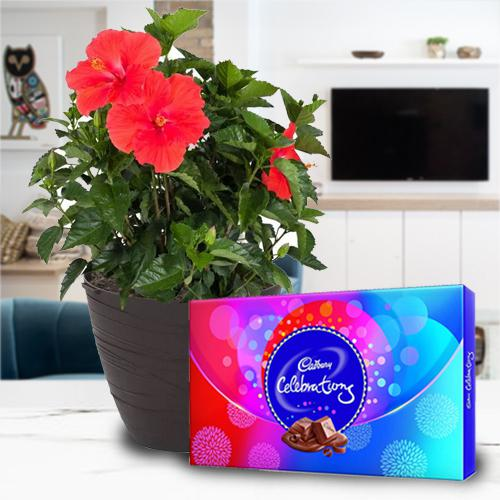 Indoor Present of Tropical Hibiscus Plant with Chocolate