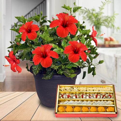 Classic Selection of Hibiscus Plant Pot with Sweets